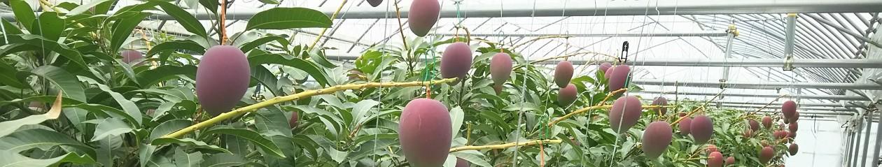 SHOWAマンゴー農園